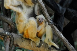 A white-cheeked gibbon (Nomascus leucogenys) pair watches over their new baby as they hang from the trees in JungleWorld at the Bronx Zoo.  Photo: Julie Larsen