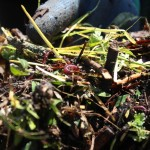The red wiggler worms are ideal for indoor composting.