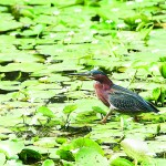 The green heron is a strikingly colored wading bird with a green back, chestnut brown body, and a short crest. The bird can sometimes be seen along the zoo's many ponds patiently waiting for a small fish to come into range of its daggerlike beak. The green heron migrates to the Bronx Zoo and other New York parks from Central America.