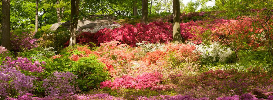 The Azalea Garden begins to flower during the first warm days of spring.