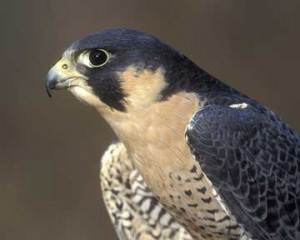 Join Bobby and Kathy Horvath as they present an assortment of birds of prey and other animals.