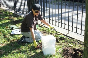 Volunteer Eileen Bonilla plants daffodil bulbs.
