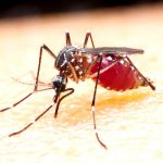The infectious disease is caused by mosquitos infected with parasites.